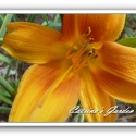 Daylily Copper Kettle Hagar