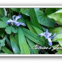 Iris Cristata - Dwarf Crested