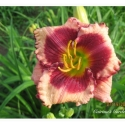 Daylily Seedling Pink Panther's Sister