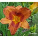 Daylily Duke of Durham