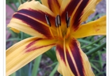 Daylily Farnsworth Spider