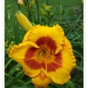 Daylily Fooled Me