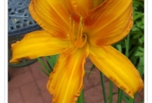 Daylily Golden Diamond