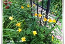 Globe Flower - Troleus
