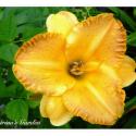 Daylily Seedling Round Orange