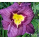 Daylily Which Way Jim