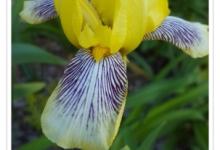 Iris Intermediate Loreley