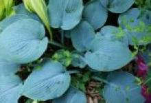 Hosta Hadspen Blue