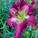 Daylily Cameroons Twister