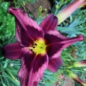 Daylily Seedling Plum Full
