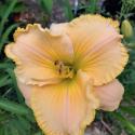 Daylily Seedling Linda's Sunrise
