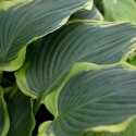 Hosta Yellow River