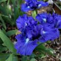 Iris SDB Tanzanite