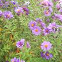 Aster New England - Symphyotrichum novae-angliae