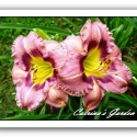 Daylily Always Afternoon