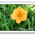 Daylily Brookwood Orange Drop