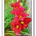 Daylily Chicago Ruby Red