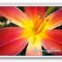 Daylily Christmas Ribbon