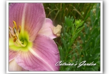 Daylily Fairest Holly