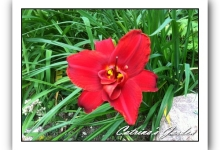 Daylily Fires of Fuji