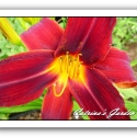 Daylily Indian Love Call