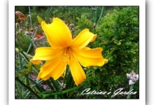 Daylily Jersey Spider