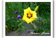 Daylily Little Bumble Bee