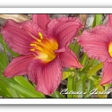 Daylily Little Business