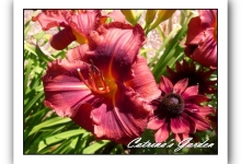 Daylily Little Red Warbler
