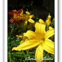 Daylily Gold Spider