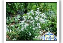 Allium Tuberosum - Garlic chives