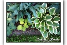 Hosta Queen Josaphine
