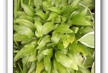 Hosra Lancifolia