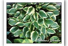 Hosta Little Wonder
