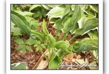 Hosta Praying Hands
