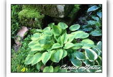 Hosta Radiant Edger