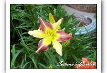 Daylily Magic Dawn