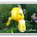 Iris California Gold