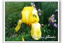 Iris California Gold