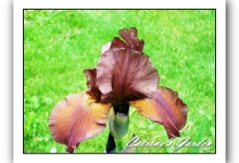 Iris Gingersnap