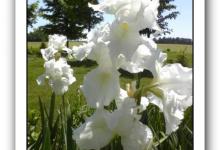 Iris I Do