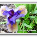 Iris What Again
