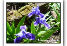 Iris Flower Shower