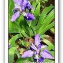 Iris Tectorum