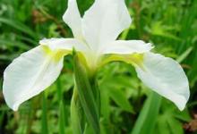 Siberian Iris Snow Queen
