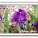 Iris Dwarf Atroviolacea