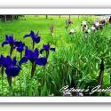 Siberian Iris Laughing Brook