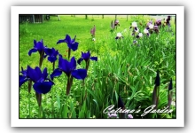 Siberian Iris Laughing Brook