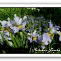 Iris Ensata Sky Wings