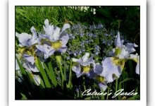 Iris Ensata Sky Wings